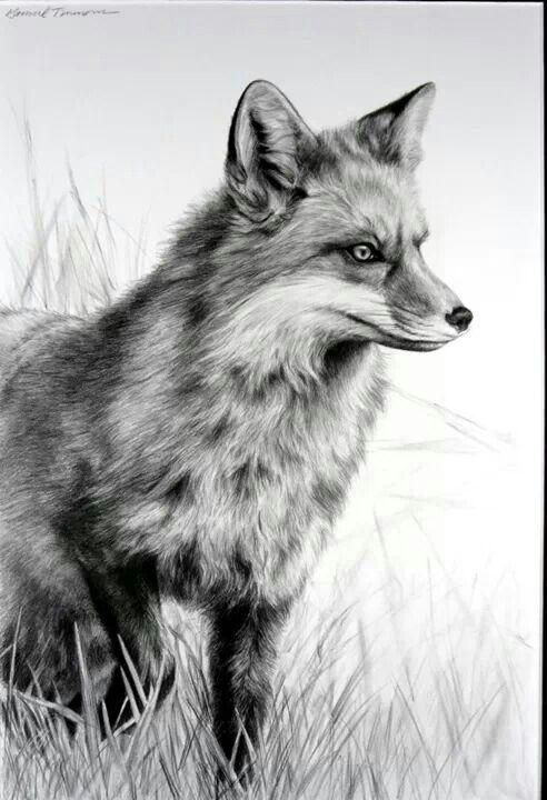 Arctic Fox Tattoo Google Search Scratchboard Art Fox Drawing Fox Sketch