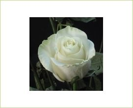 2c832b61287e Mondial - Standard Rose - Roses - Flowers by category