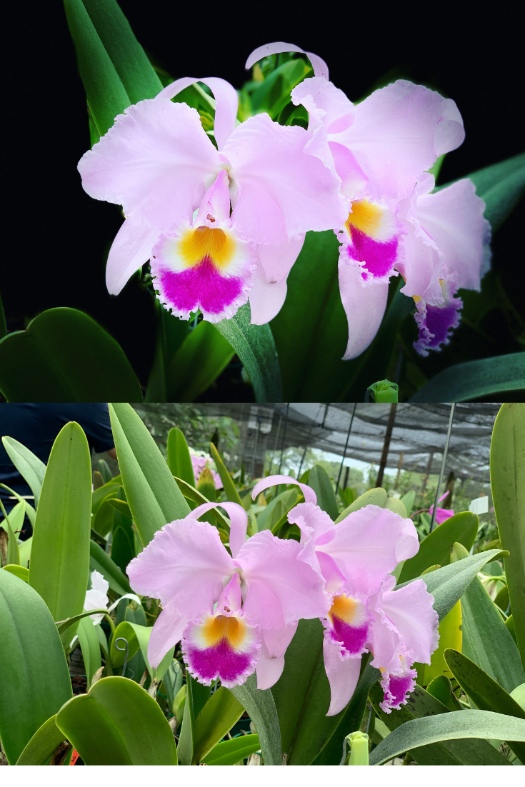Flower Colombia Beautiful Orchids Cattleya Orchid Orchids