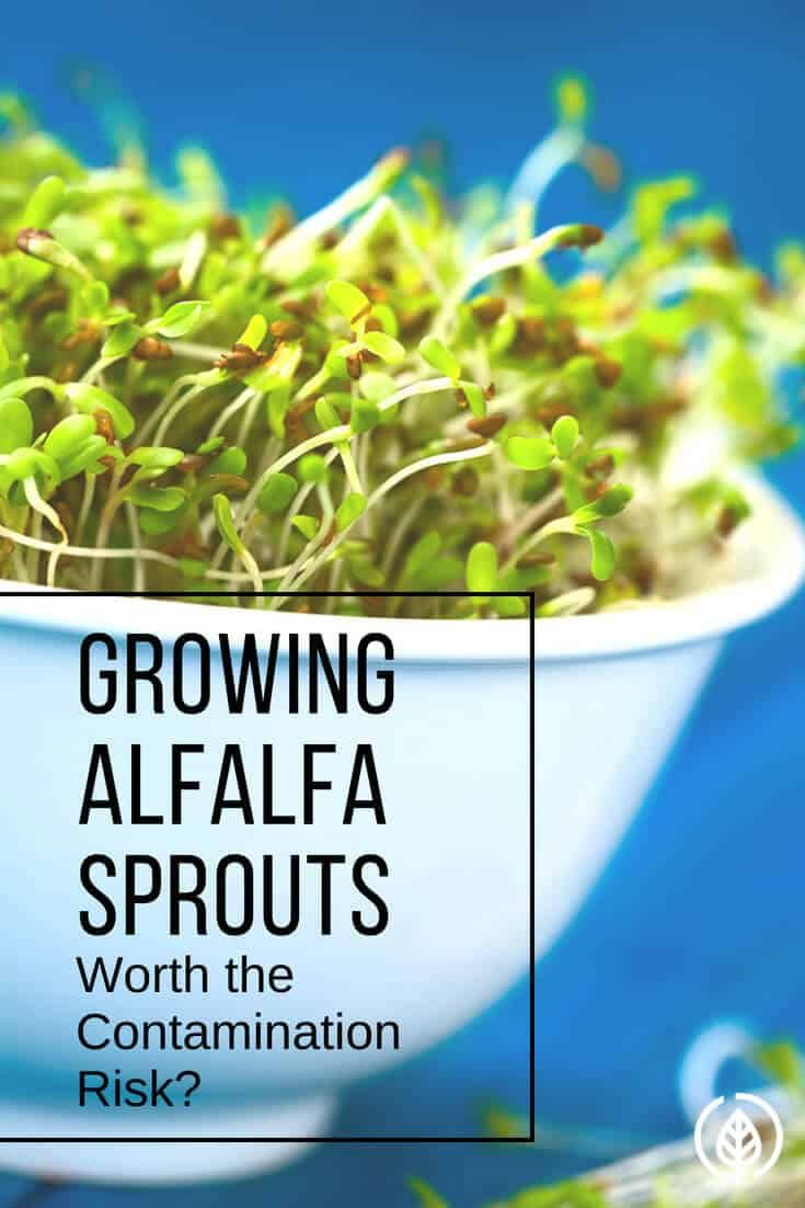 Growing Alfalfa Sprouts Worth The Contamination Risk Alfalfa Sprouts Alfalfa Alfalfa Sprouts Recipes