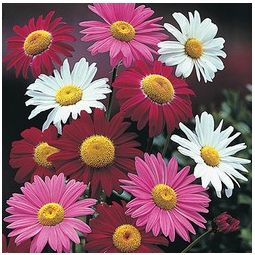 Robinson's Painted Daisy Plants