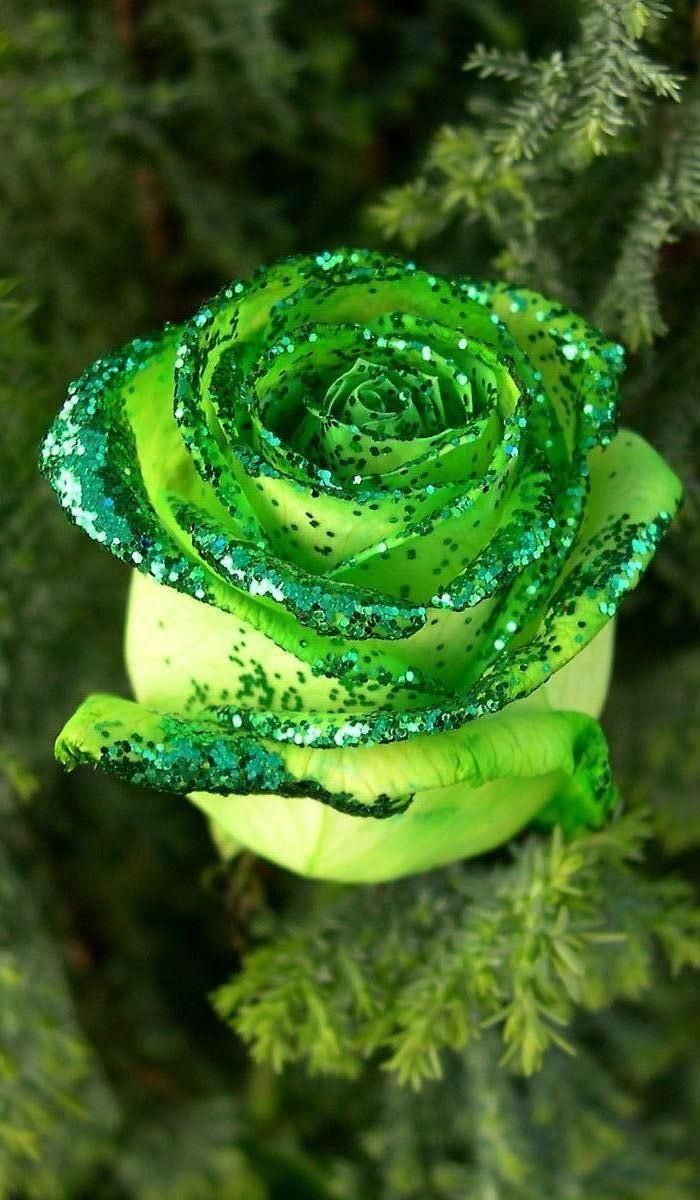 green rose   Nature   Pinterest   Green rose, Rose and Flowers