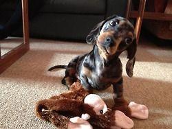 This Mine Right Weiner Dog Dachshund Love Weenie Dogs