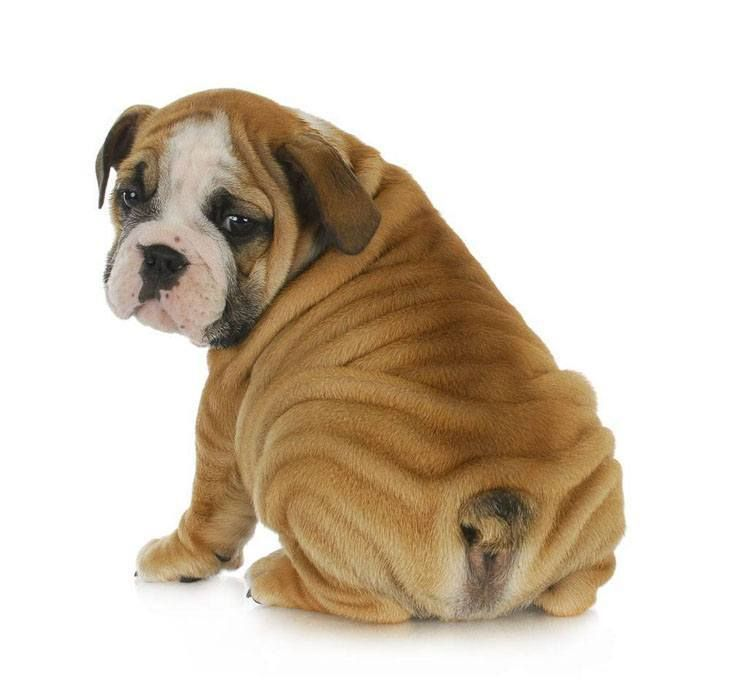 English Bulldog Puppies Pictures With Images Super Cute