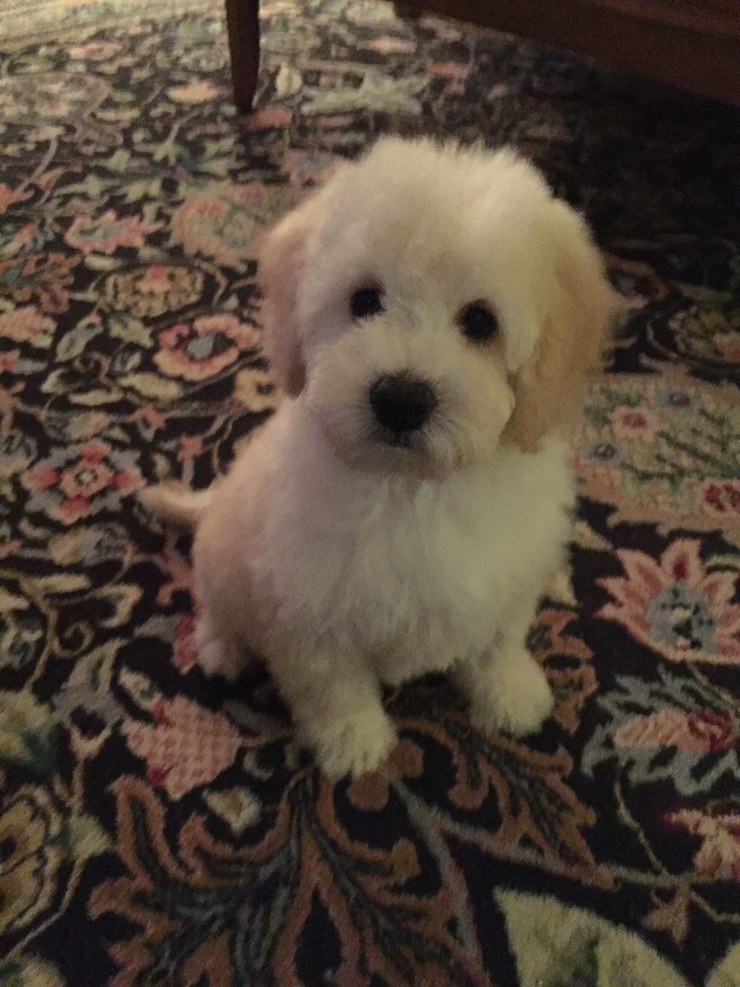 8 Week Old Australian Labradoodle Puppy From Downunder Labradoodles Usa Www Labradoodle Biz Australian Labradoodle Puppies Labradoodle Puppy Labradoodle