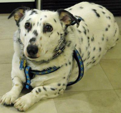 Corgi Dalmation Mix Corgi Dalmatian Cute Dogs Mixed Breed Dogs