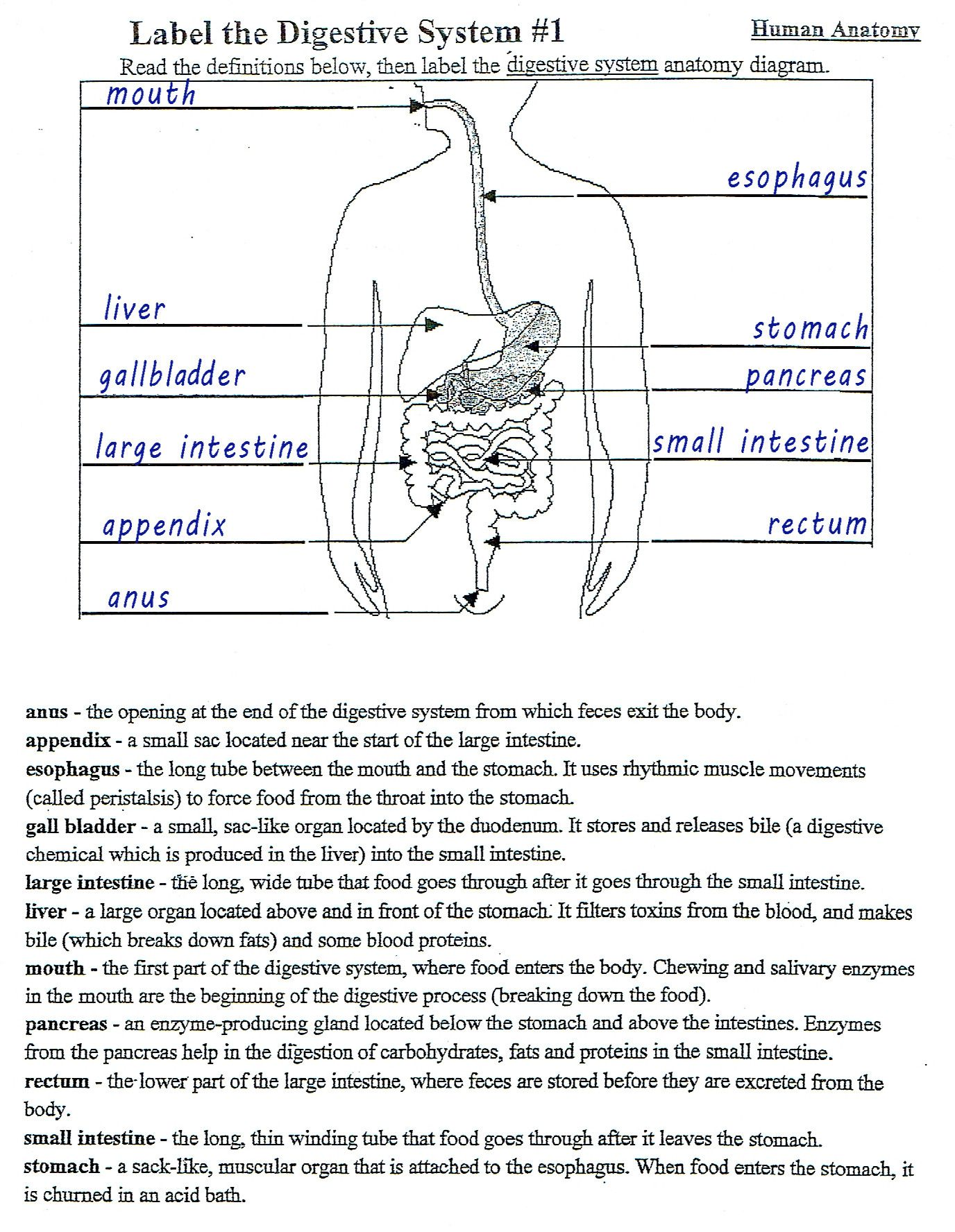 Human Digestive System Worksheet In