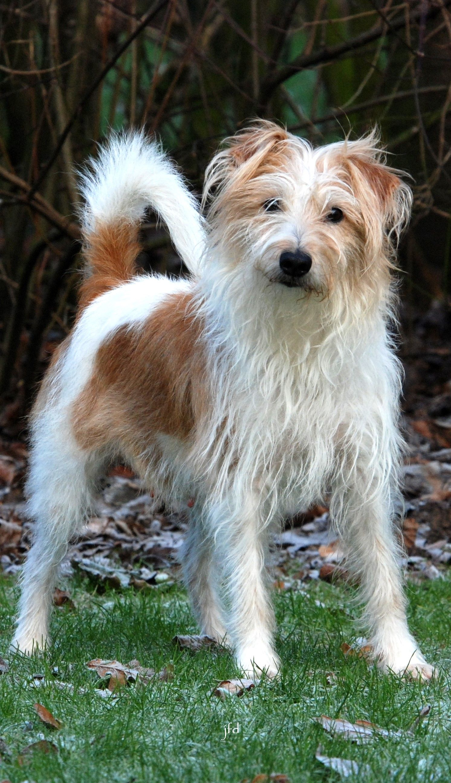 Kromfohrlander Dog Breeds Different Breeds Of Cats Dogs And Puppies