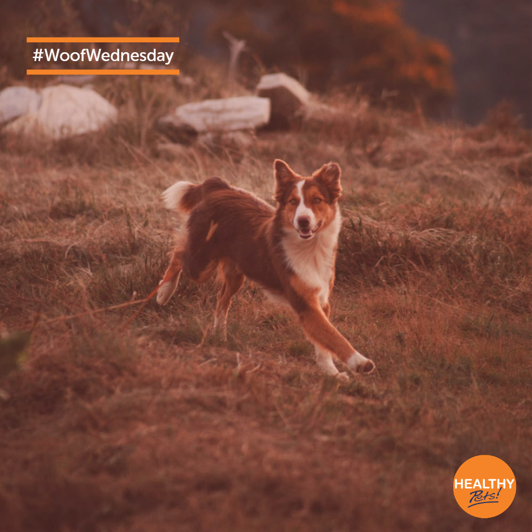 What Better Way To Spend Woofwednesday But With Some Walkies Dogs Pets Healthypetsinsurance In 2020 Healthy Pets Pets Dogs