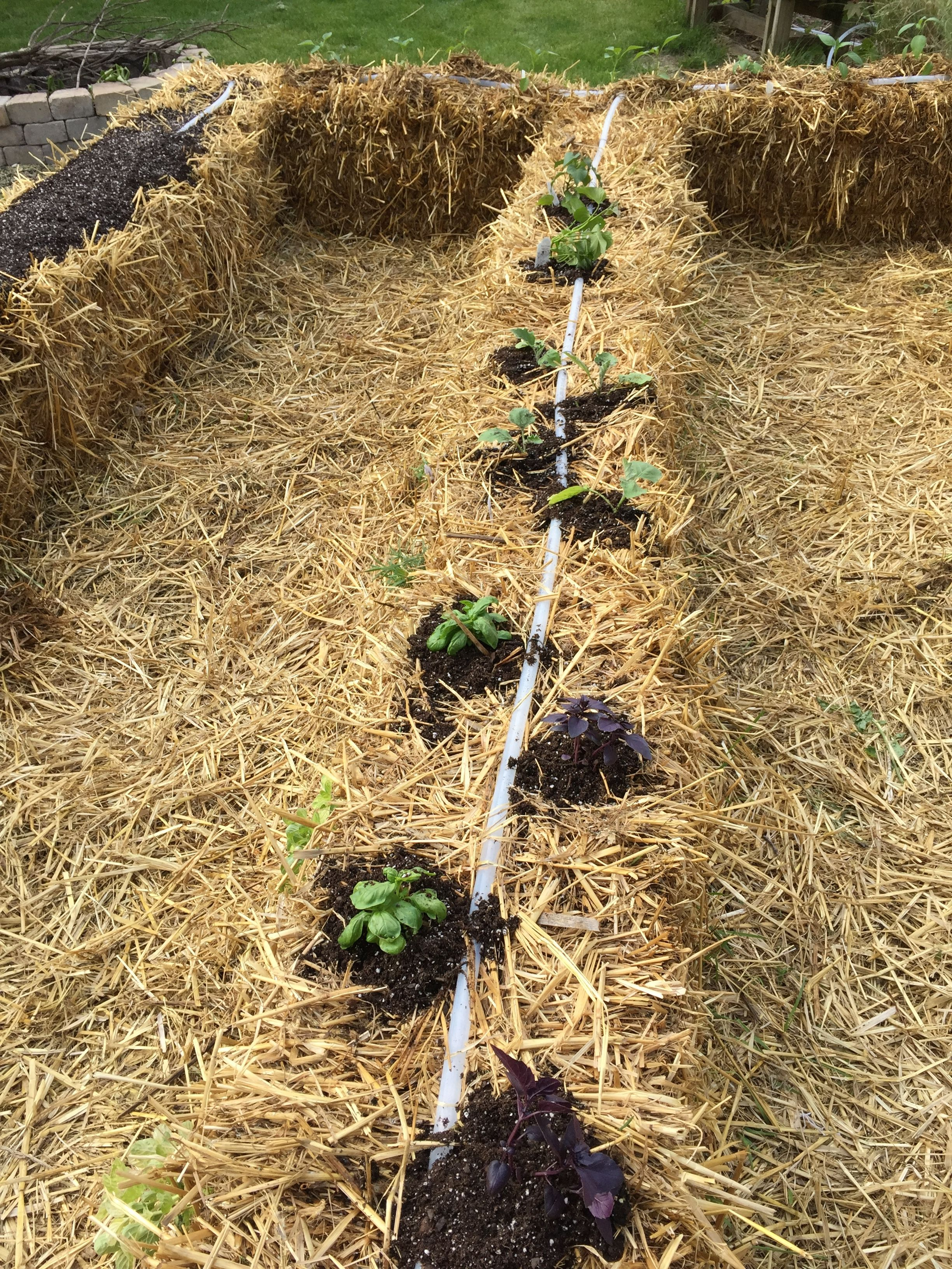 Front to back: basil, eggplant, sweet potatoes, white potatoes ...