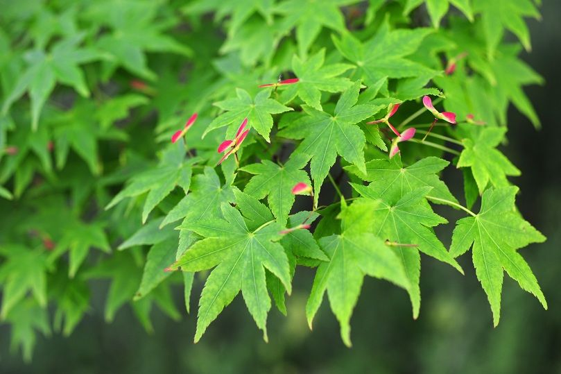 Green Japanese Maple Tree Japonesas Japon Acer