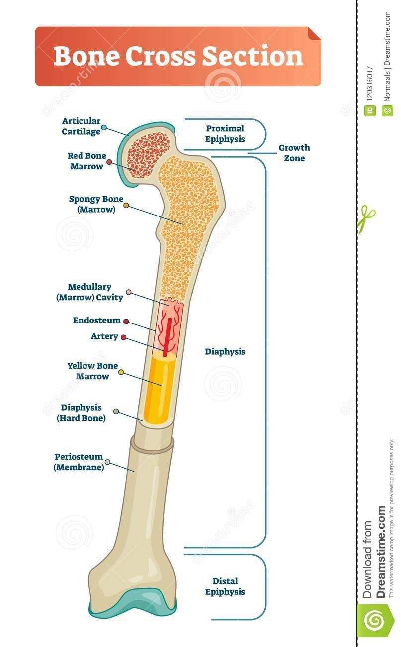 vector illustration scheme of bone cross section diagram with articular cartilage marrow medullary cavity and periosteum  [ 807 x 1300 Pixel ]