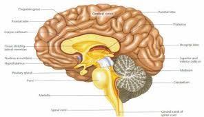 Sagittal Diagram Of The Brain Google Search Brain Nervous System Brain Diagram Nervous System