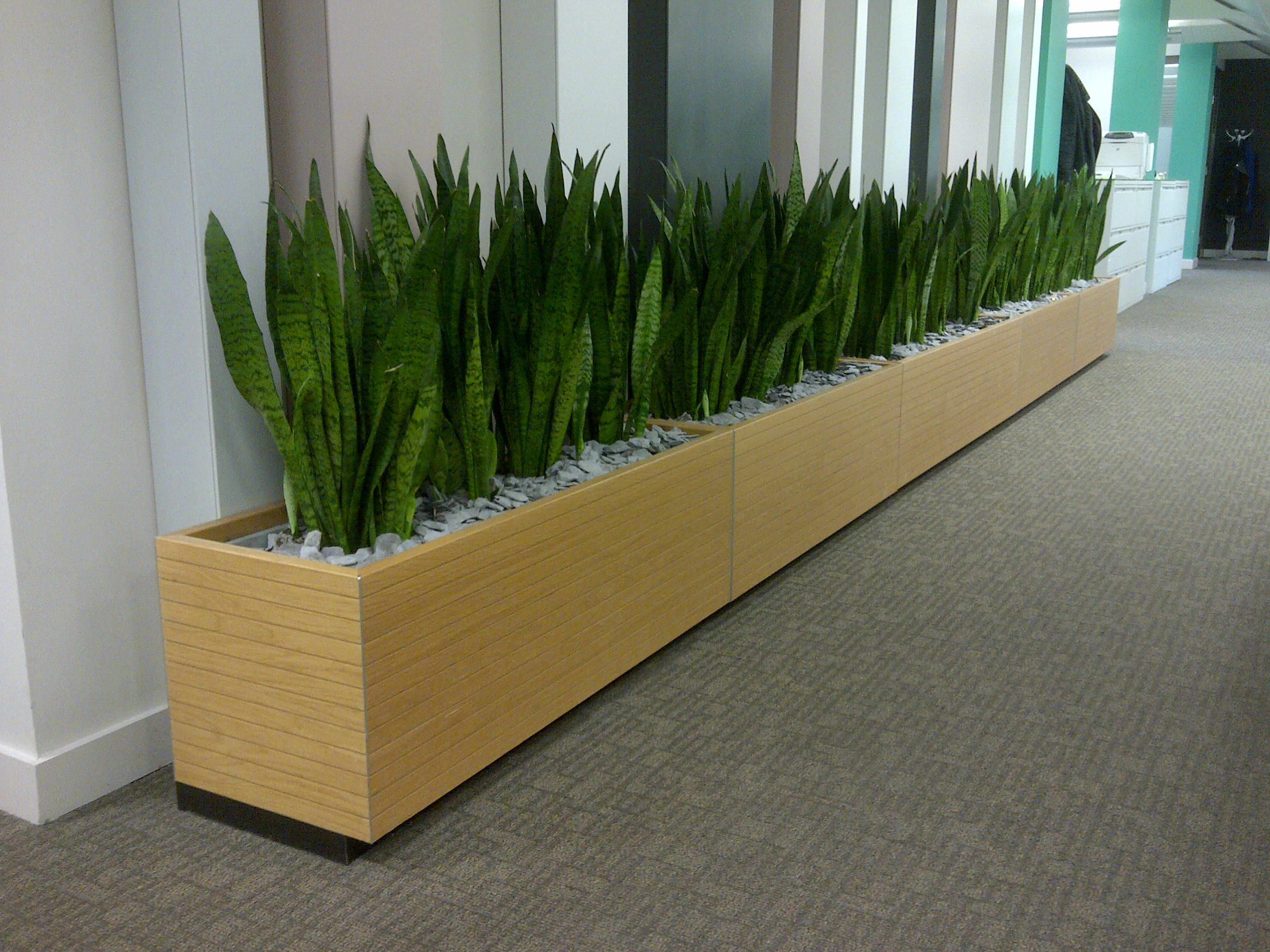 Floor troughs with sansevieria bring high density planting Tall narrow indoor plants