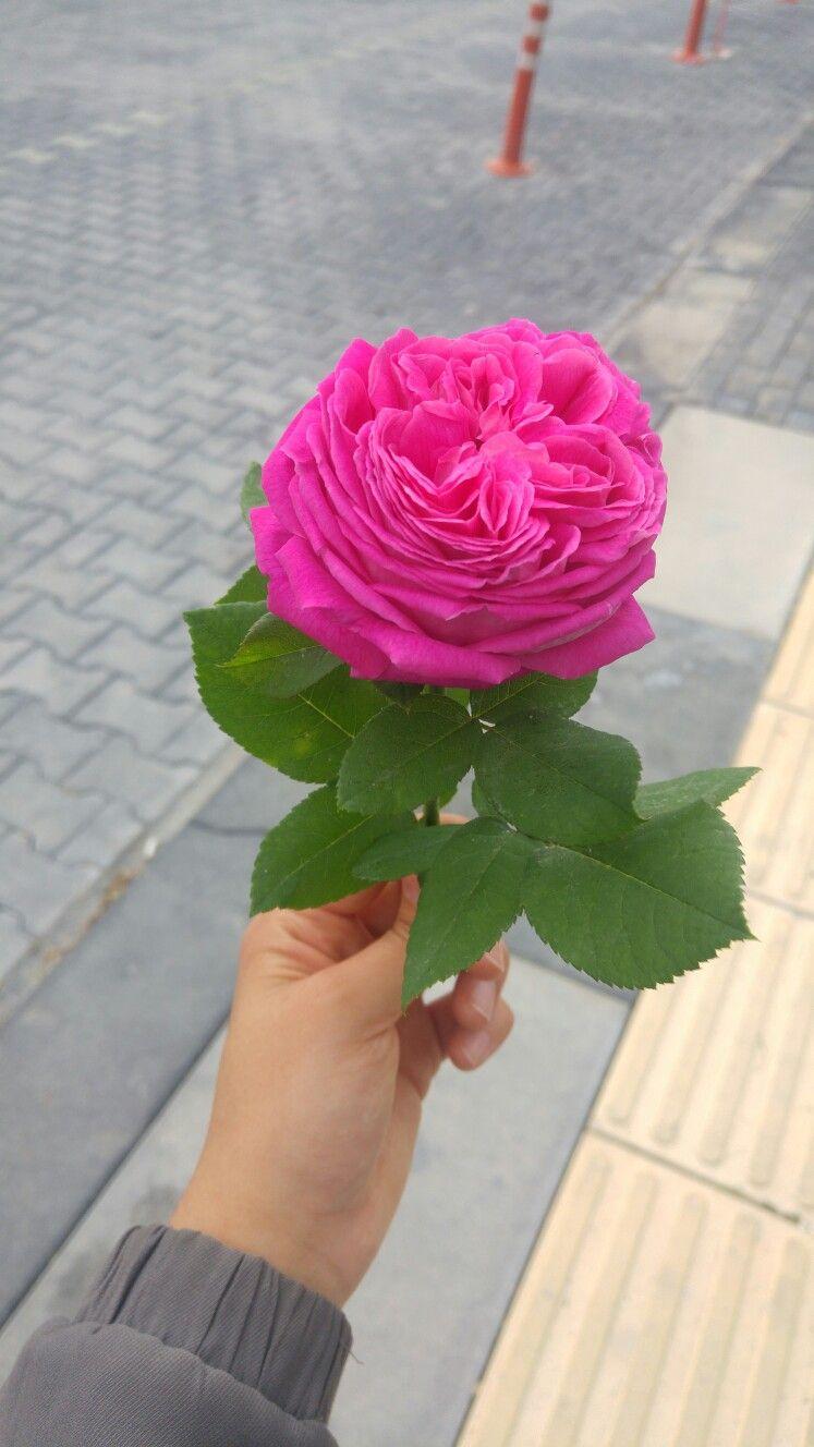 flowers rose pink ankara gölbaşı