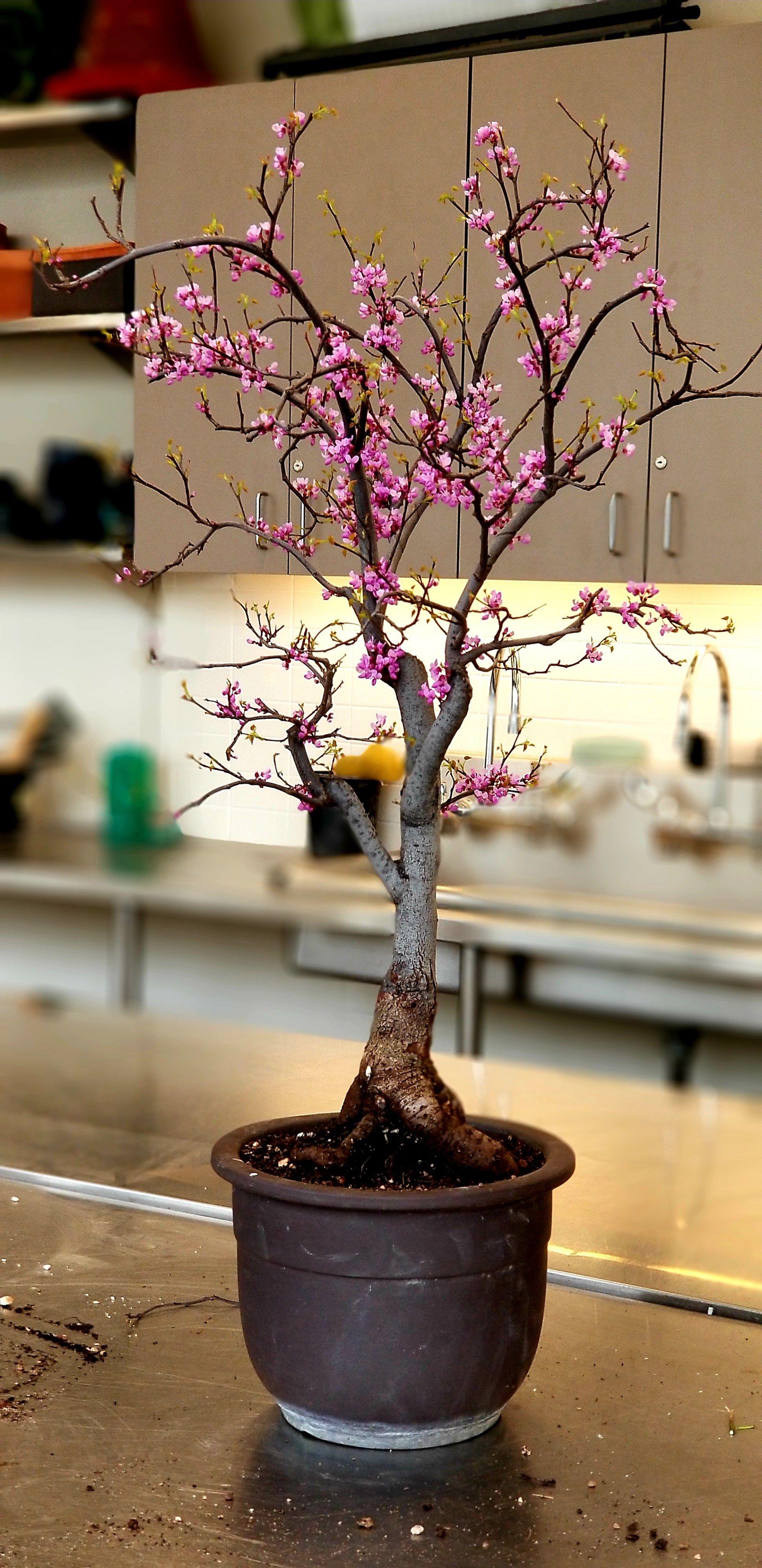 Cercis Canadensis Redbud Bonsai Bonsai Tree Bonsai Techniques Redbud Tree