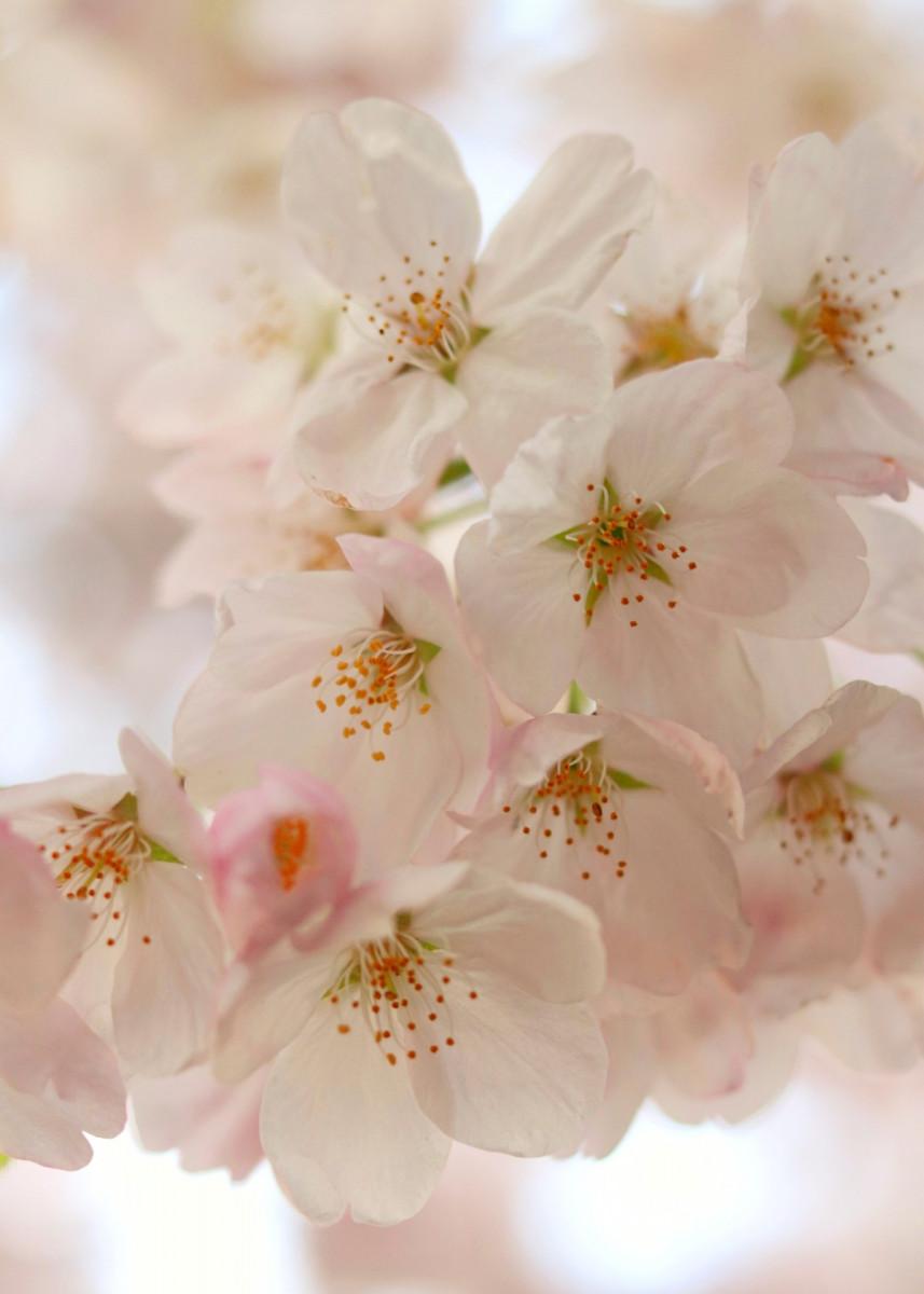 White Cherry Blossoms White Cherry Blossom White Cherries Cherry Blossom