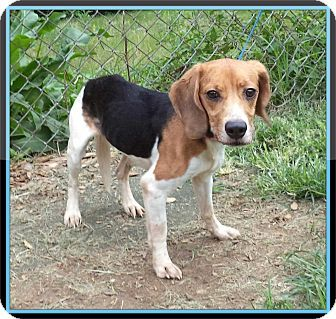 Act Quickly To Adopt Bella Pets At This Shelter May Be Held For Only A Short Time Adoptable Beagle Beagle Dog Beagle