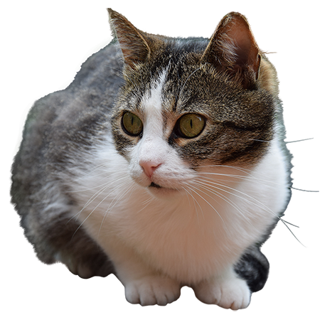 A Cutout Photo Of A Gray And White Cat Ready To Pounce Grey And White Cat Grey Cats White Cat