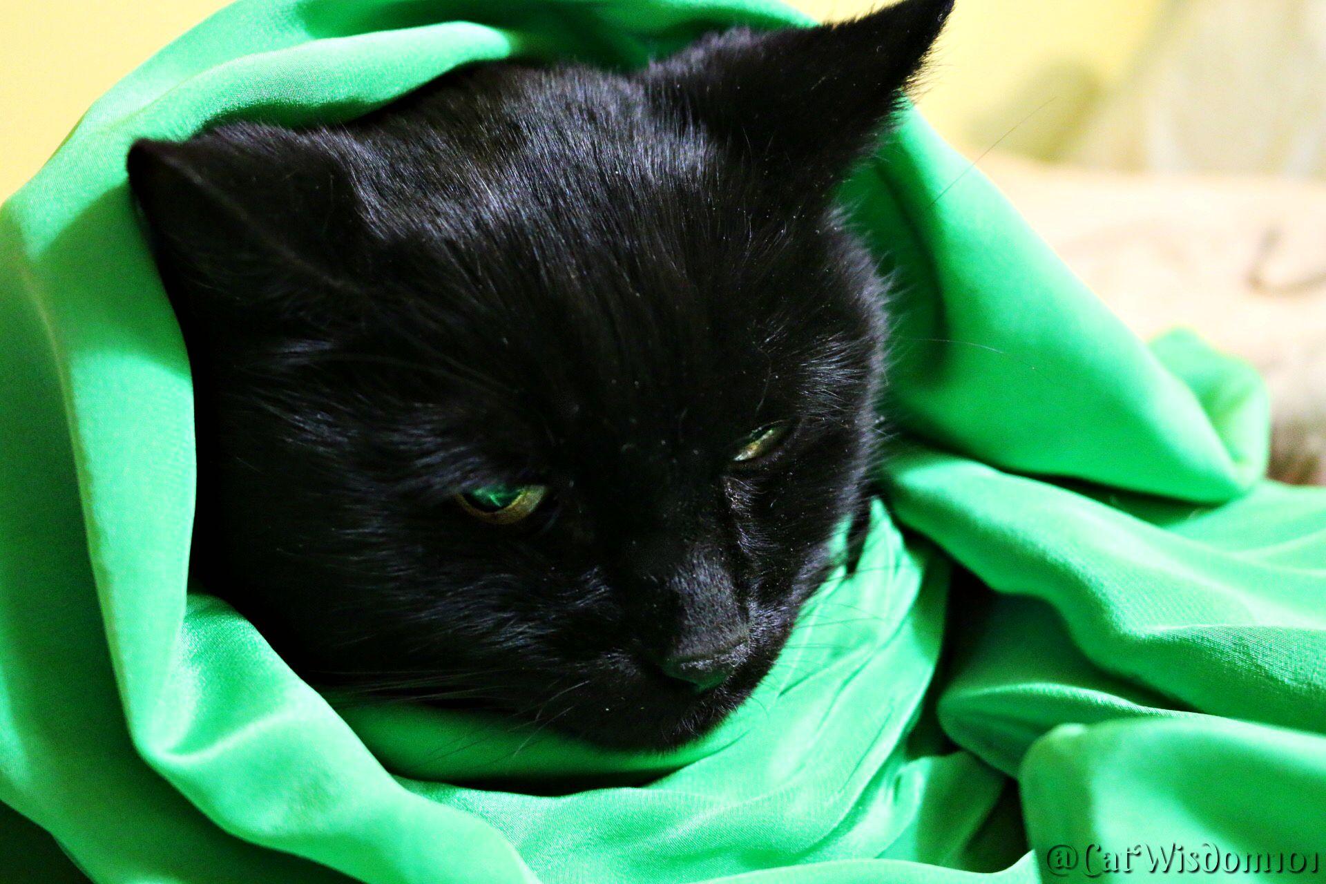 Mancat Monday Lucky Irish Black Bog Cat (With images