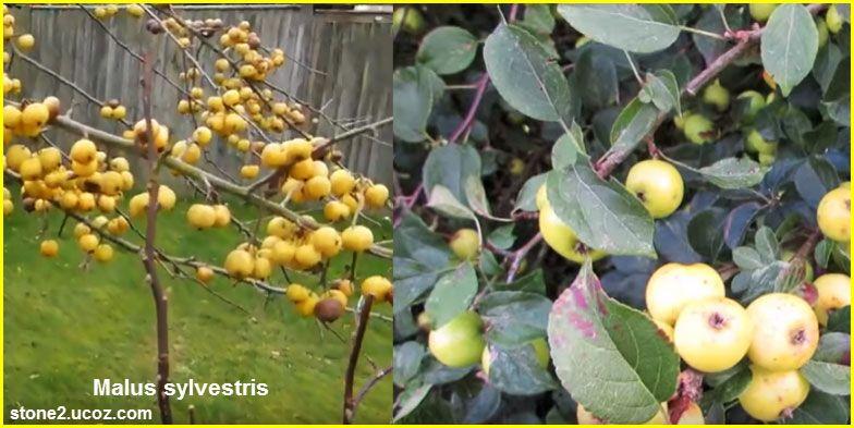 تفاح حرجي Malus Sylvestris قسم الفواكه النبات معلومات نباتية وسمكية معلوماتية Grapes Fruit Malus