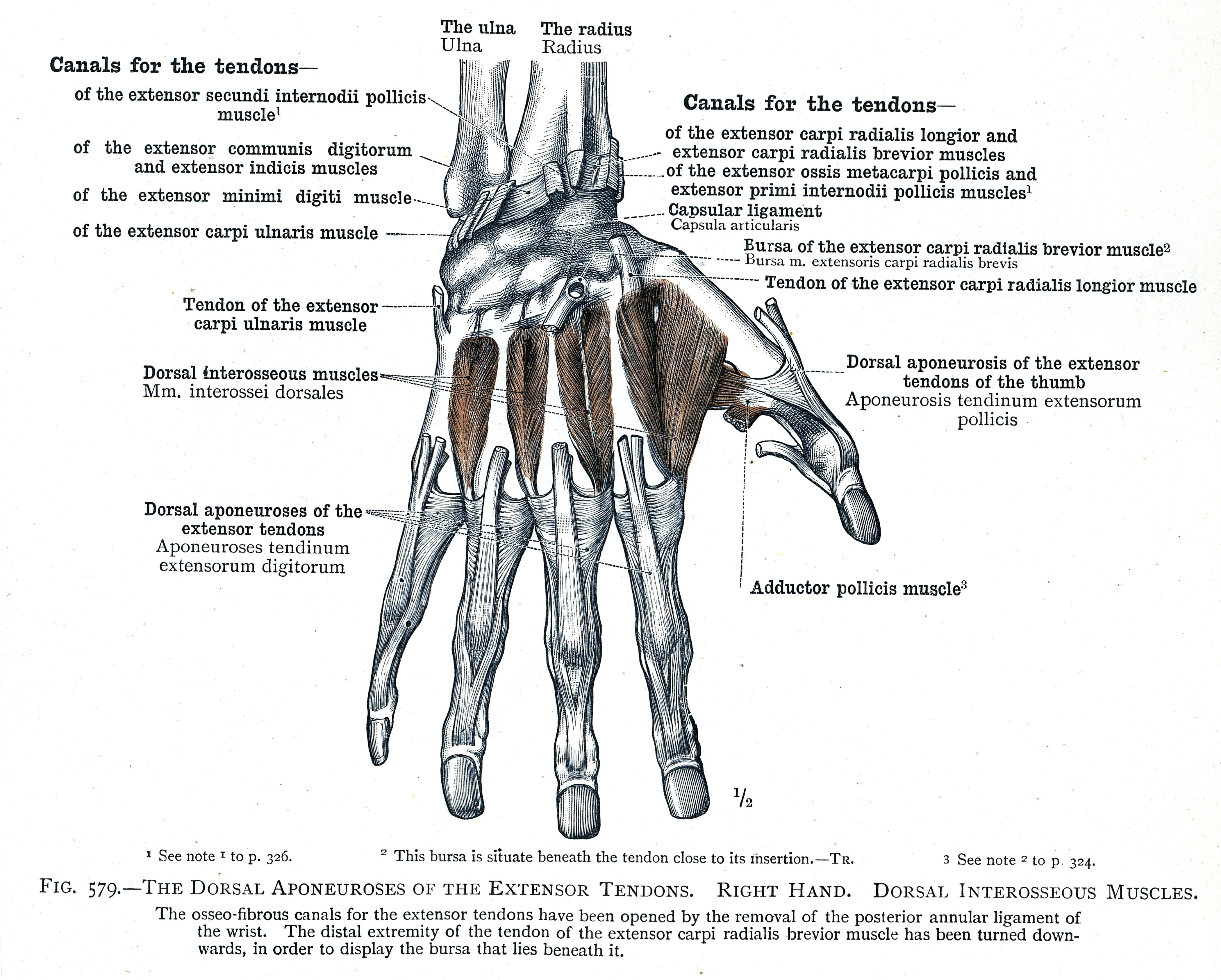 dorsal interossei - Google 검색 | 手の描き方 | Pinterest | Hand ...