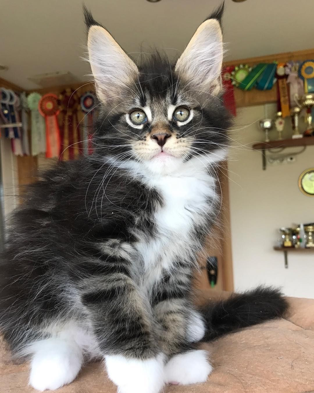 Pin On Cute Felines And Kittens