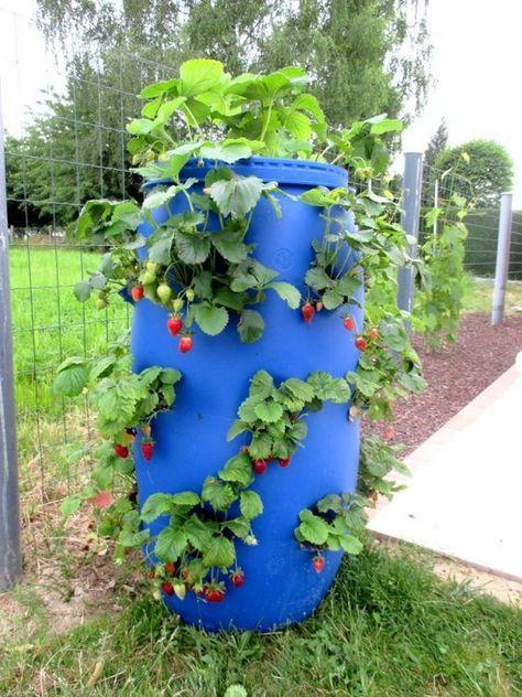 Faire Une Tour A Fraisiers Avec Un Fut Bleu Ma Passion Du Verger Et Passion  Potager Erdbeerfass   Strawberry Barrel Planting | Jardin | Pinterest |  Gärten