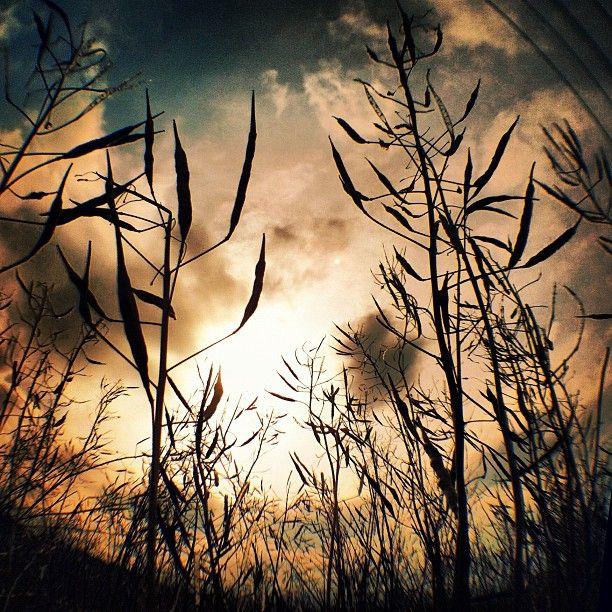 """#夕方の1枚 One taken in the eveningღ """" Rapeseed """"  何だかわかりますか?触ると弾けて面白かったです(ʃƪ˘▿˘)♡(˘▿˘ʃƪ)  #sun #sunset - @phantastic420- #instagram"""
