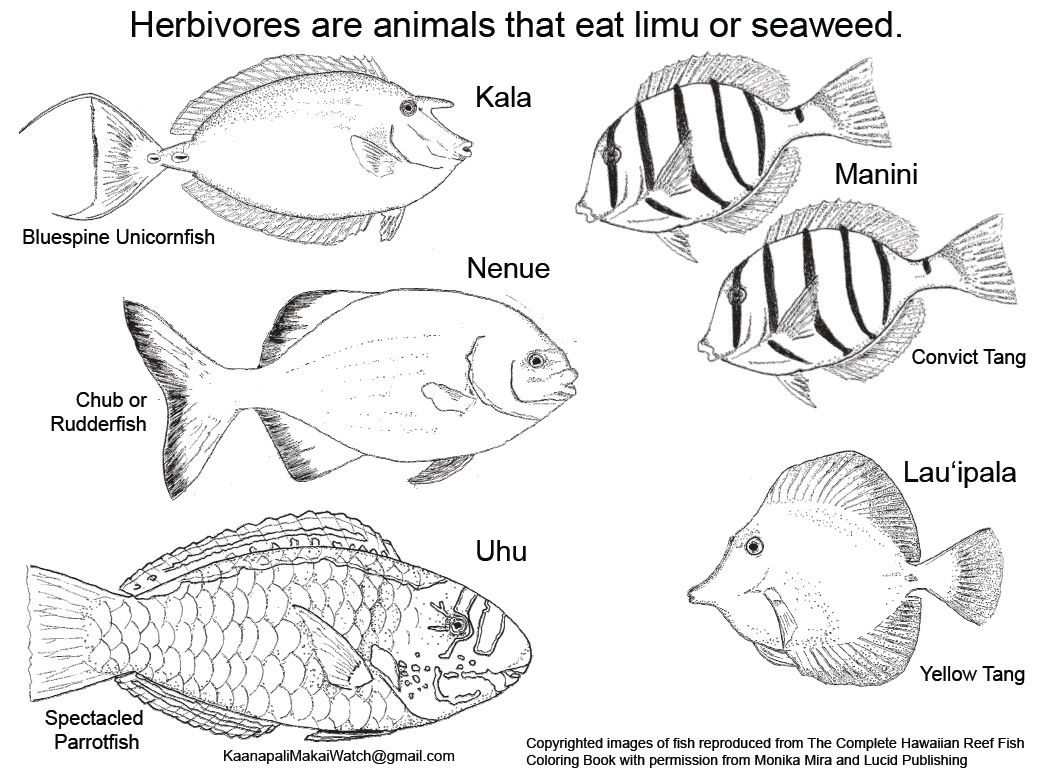 Maui Ocean Bloggers Herbivore And Khfma Coloring Page