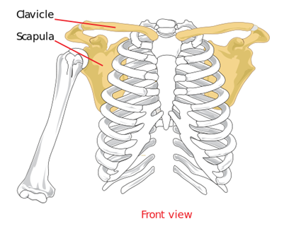 Labelled Diagram Of Shoulder Girdle Showing Colored Scapula And