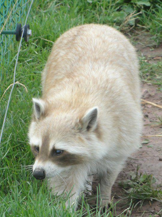 white raccoon white raccoon by onjivan animals