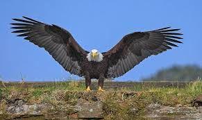 Image result for eagle love