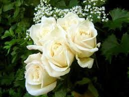 White rose flower meaningwhite rose flower white rose symbolic white rose flower meaningwhite rose flower white rose symbolic white flowers white rose meaning without vibrant color to upstage it the formal mightylinksfo
