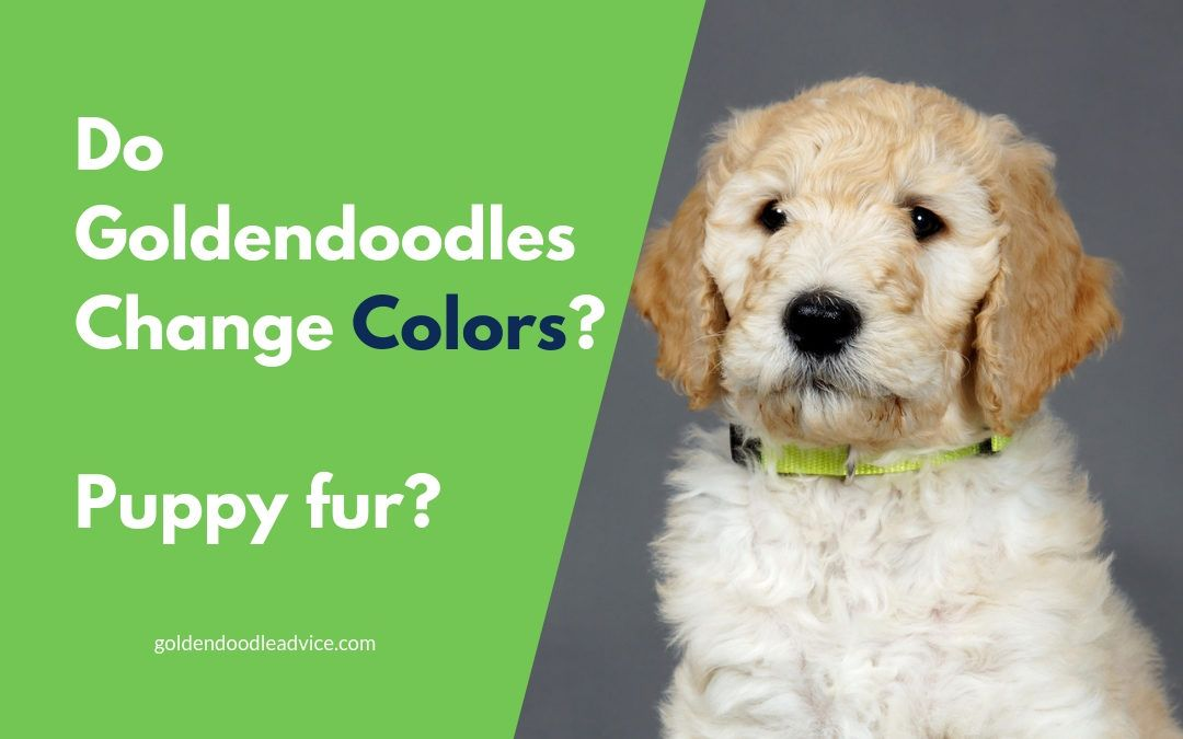 Goldendoodles Colors Puppy Fur And Shedding Goldendoodle