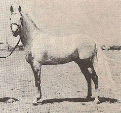 Nafaa el Saghira  1910 mare -- Meanagi Selebi DB AR-EG-95-GR x Nafaa el Kebira AR-EG-05-GR