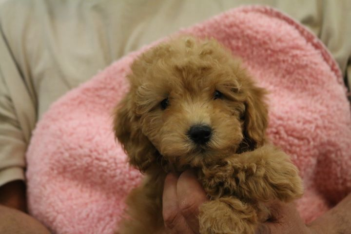 Puppies For Sale! Tiny Toy Goldendoodle, Micro Mini