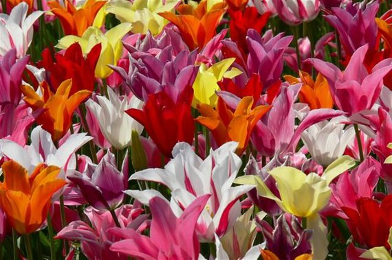 5 Lily Flowered Tulips Bulbs Mixed Color Collection Naturalize Pre Chilled For Indoor Forcing Tulip Bulbs Tulip Bulbs For Sale Fall Plants