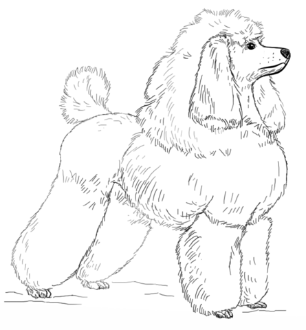 Toy Poodle Coloring Page Free Printable Coloring Pages Dog Pattern Poodle Drawing Drawing Tutorial