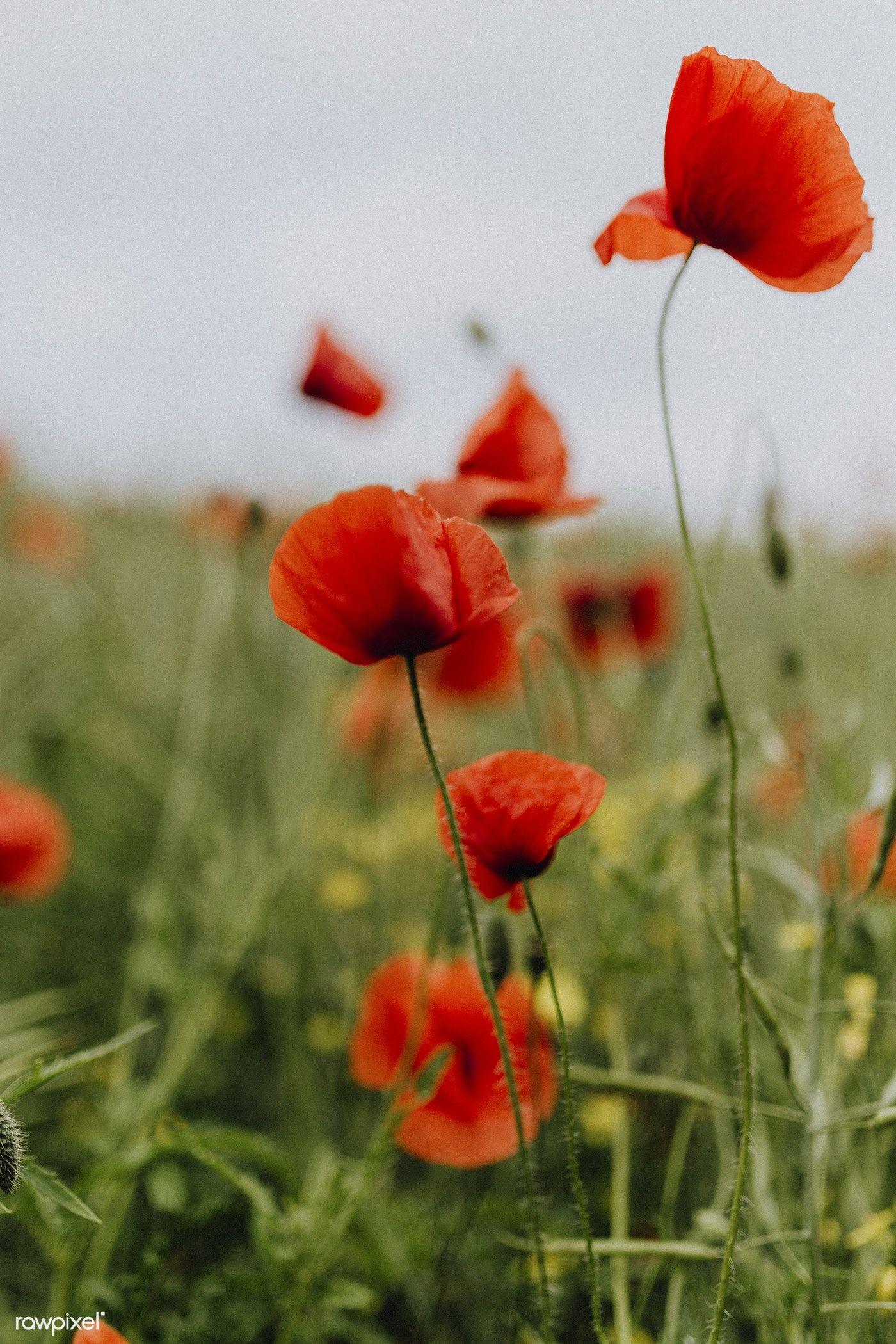 Field Of Poppy Flowers Free Image By Rawpixel Karolina