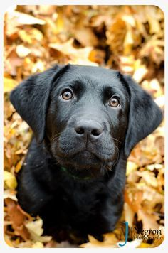 black lab, dog photography, fall photos, cute puppy J.M. www.jmnphotos.com Photo By J.M. Negron Photography