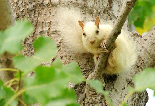 Écureuil Blanc-White Squirrel -28-09-11 by r.gelly on Flickr.