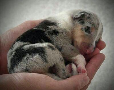 Blue Merle Collie Newborn Don T Know Yet If It S A Rough Or A