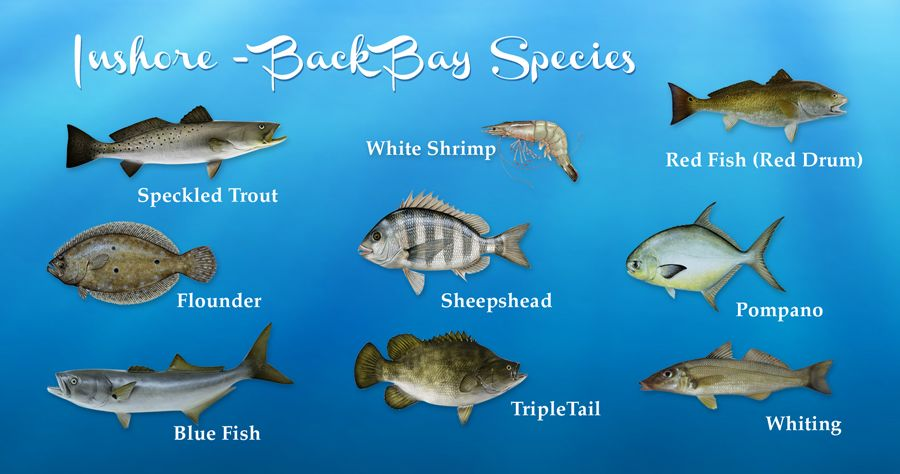 Alabama inshore fishing al back bay species speckled for Types of fish in the gulf of mexico