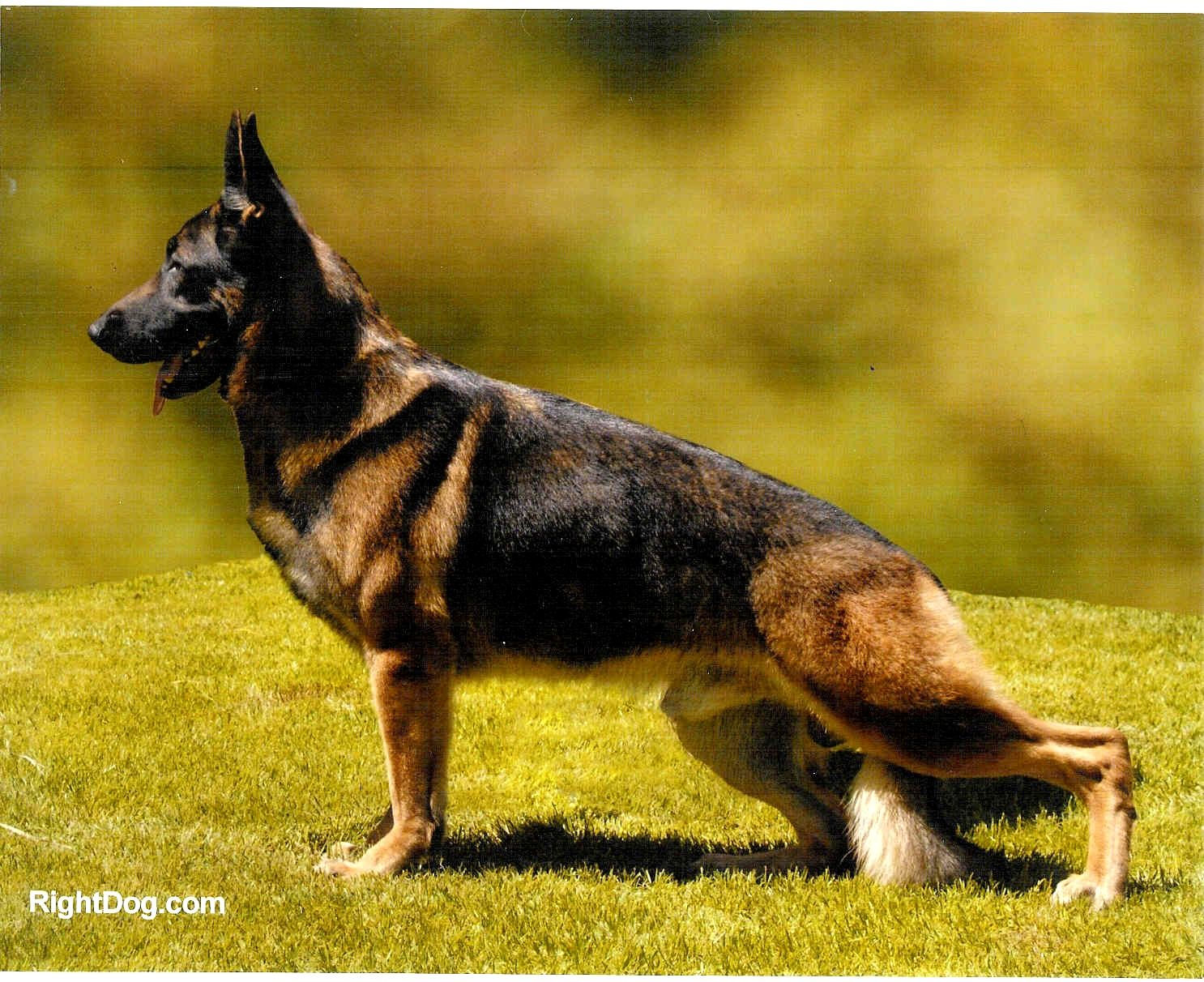 Red Sable German Shepherd Dog Red Sable German Shepherd Group