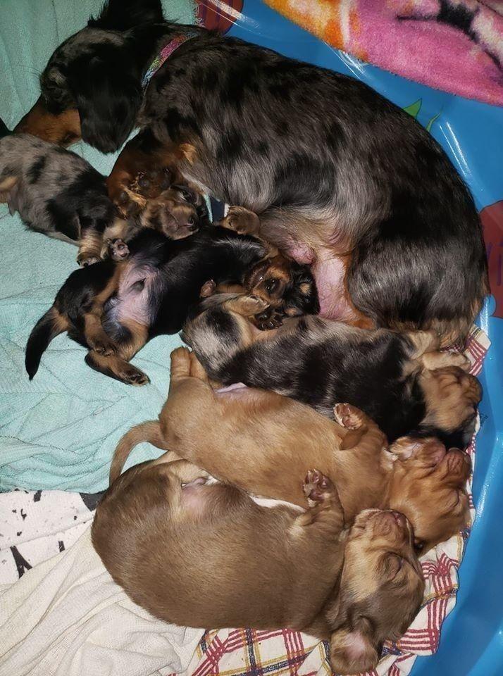 Dachshunds Dogs Puppies Cutedogs Doxie Wiener Hotdog