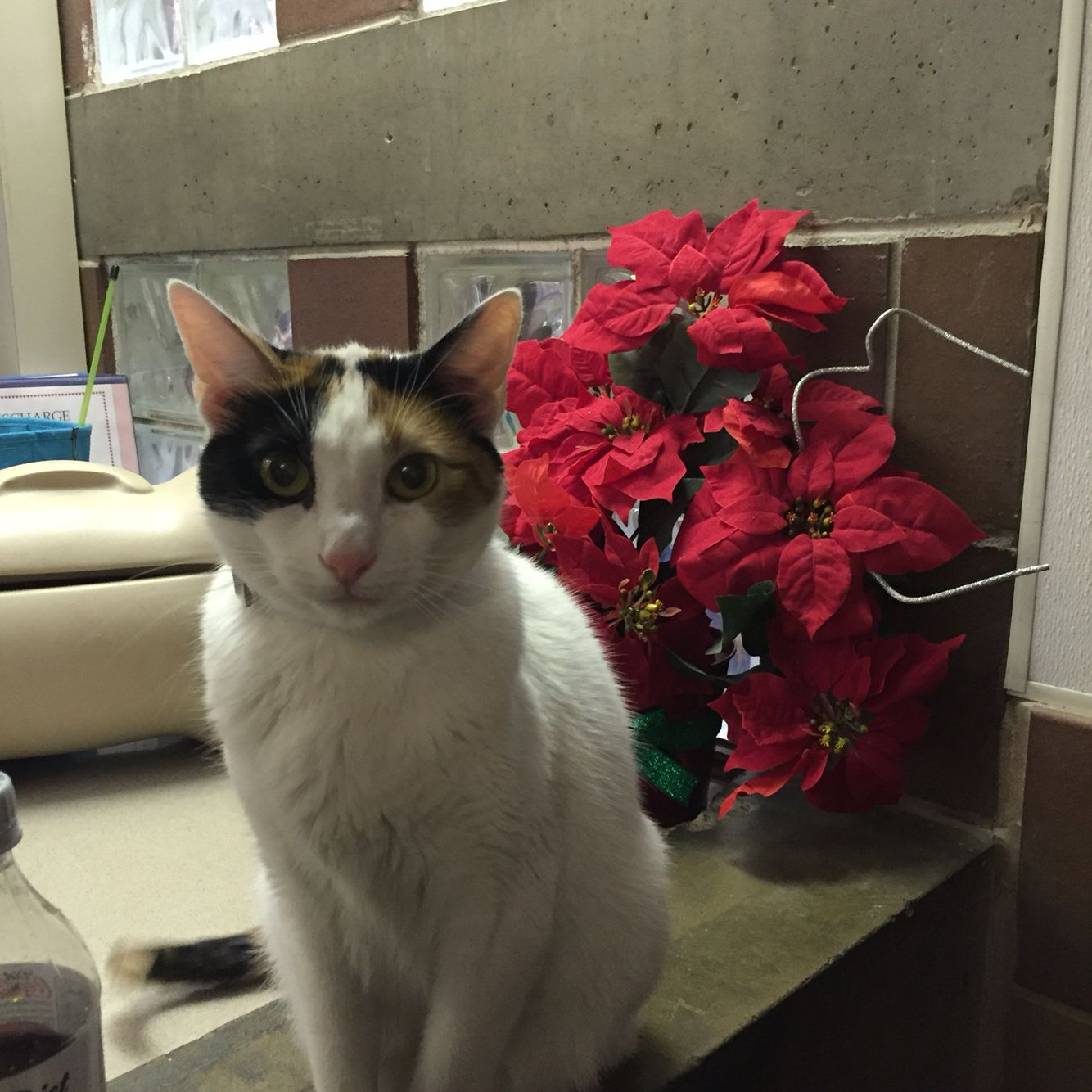 Sweety Is Waiting For A Special Cat Experienced Human To Help Her Adjust To Life Outside The Shelter Cats Cat Adoption Animal League