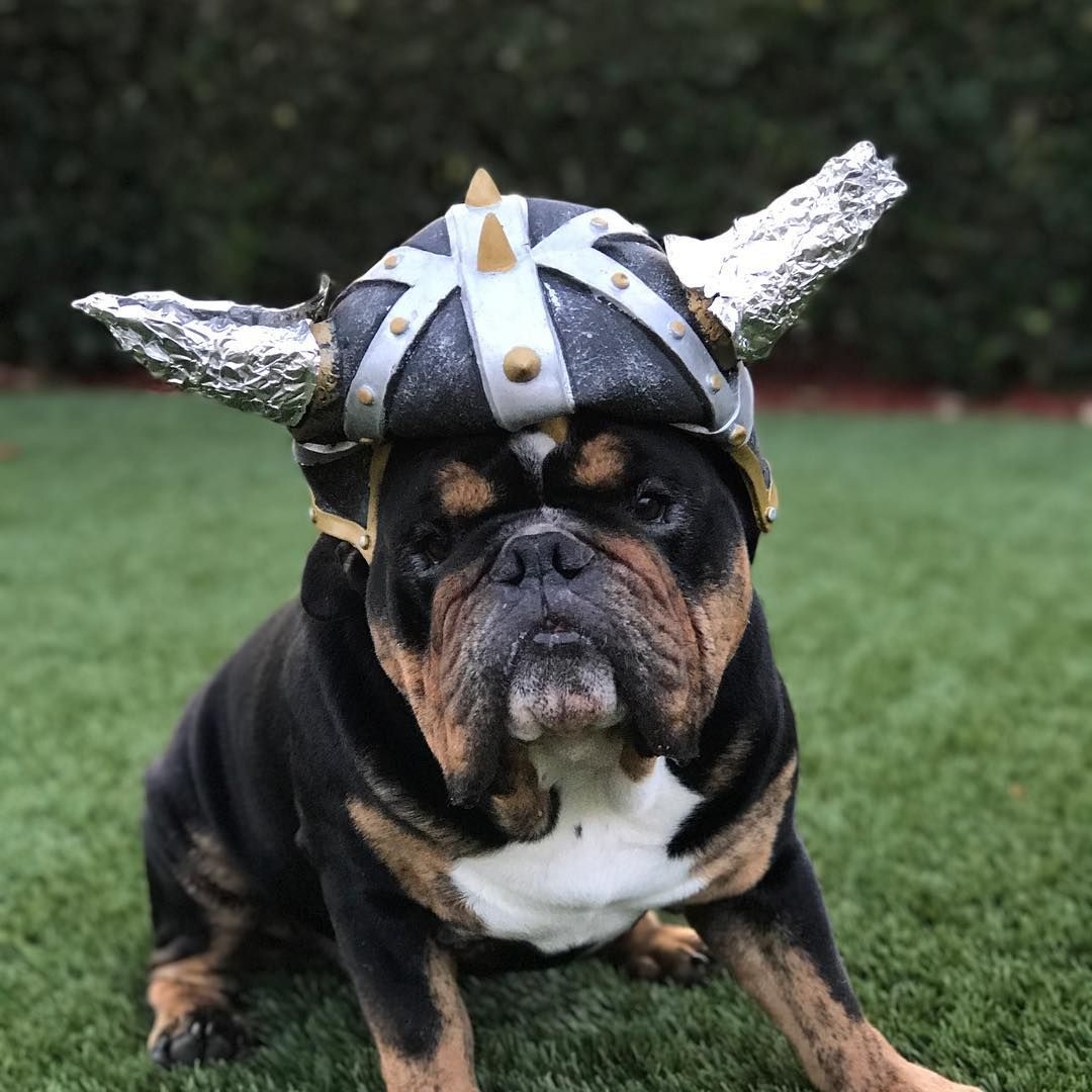 This Viking English Bulldog Is Ready For Chew Toy Battle Www