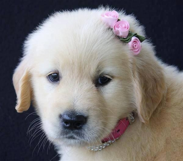 Golden Retriever Puppy With A Pink Bow In Her Hair Retriever Puppy Cute Dogs And Puppies Cute Dogs
