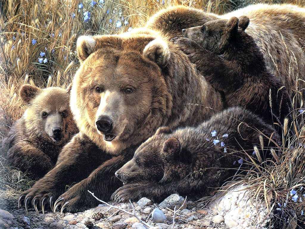 The brown bear (Ursus arctos) is a large bear distributed across much of northern Eurasia and North America. Adult bears generally weigh be...